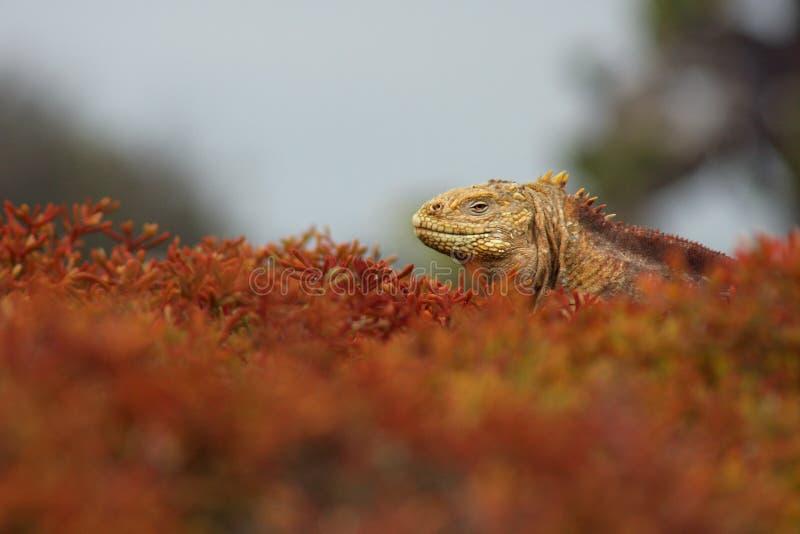 Download Iguana In Foliage stock image. Image of animal, foliage - 12578973