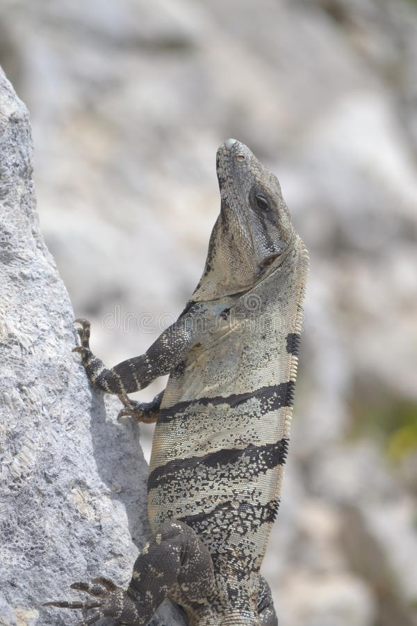 Iguana gadów dzicy egzotyczni zwrotniki Meksyk zdjęcie royalty free