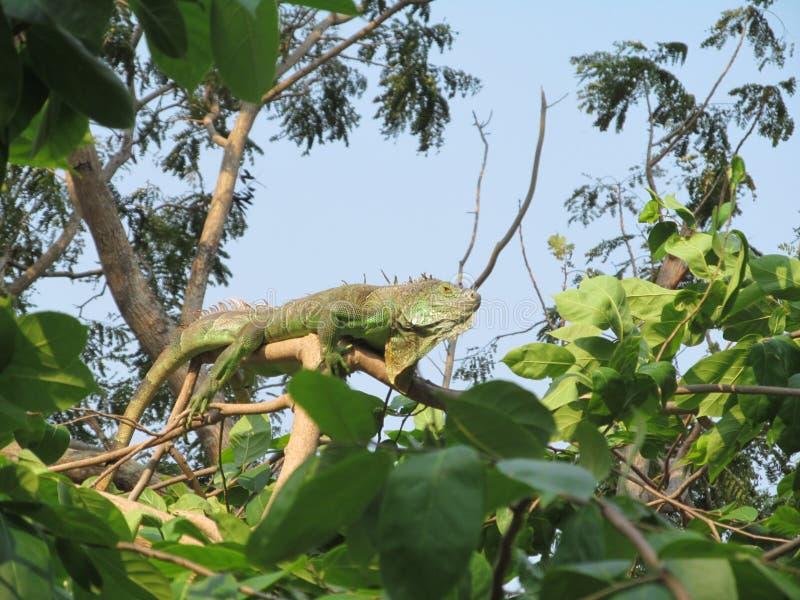 Iguana gadów egzotyczni zwrotniki Azja Tajlandia Siam obrazy stock