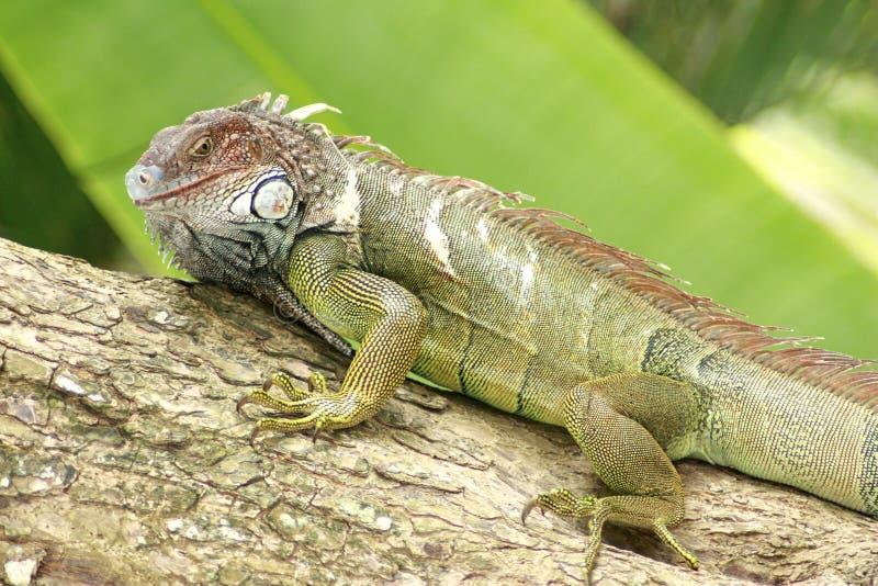 Iguana Gaze Stock Image