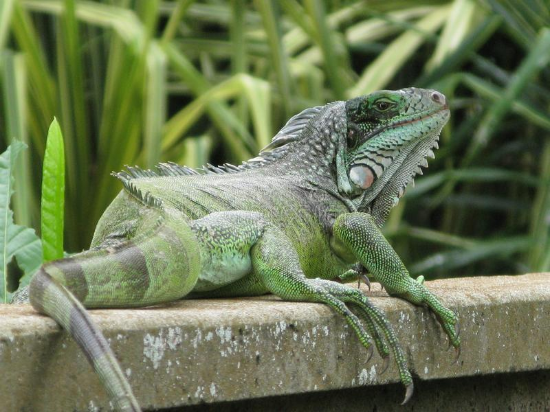 Iguana genus of lizard. Genus of herbivorous lizards that are native to tropical areas of Mexico, Central America, South America, and the royalty free stock photo