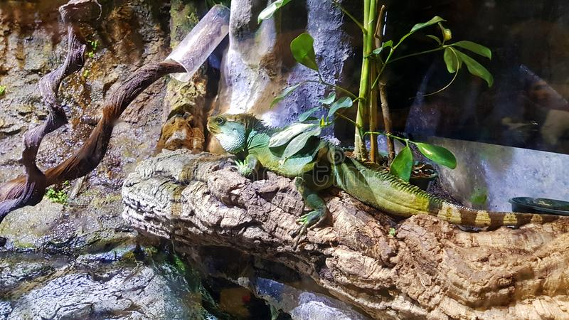 Iguana grande imagens de stock