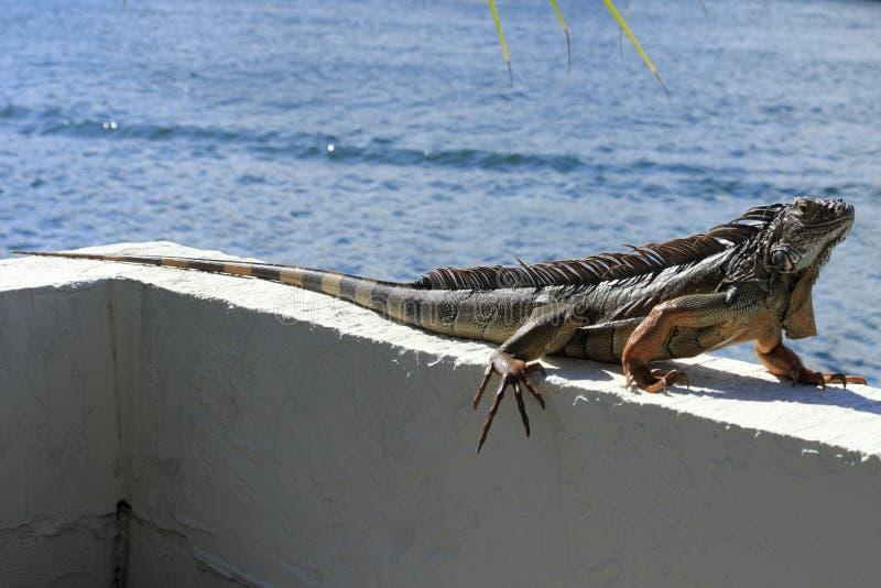 Iguana grande en la Florida fotografía de archivo