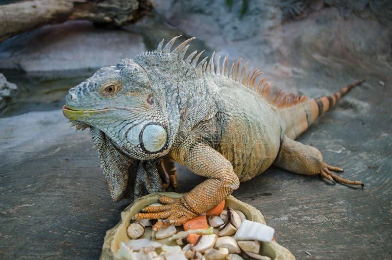 A iguana grande verde com cauda listrada olha fixamente através do vidro no jardim zoológico de Kiev imagens de stock