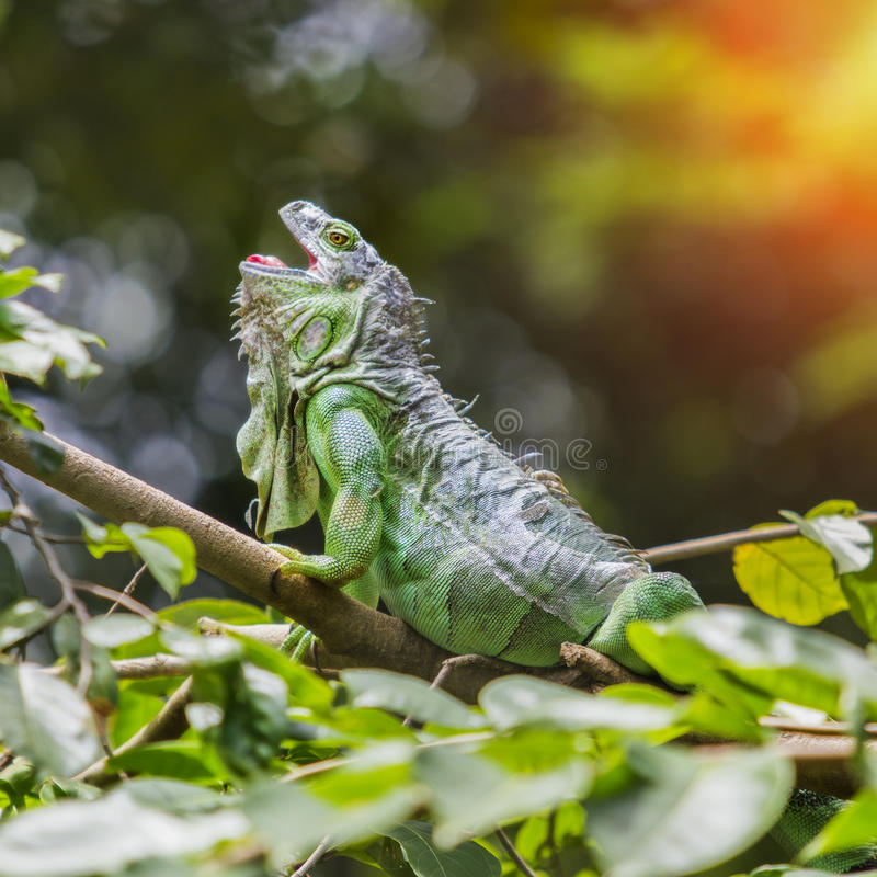 Iguana. Green iguana sleep on the branch stock photo