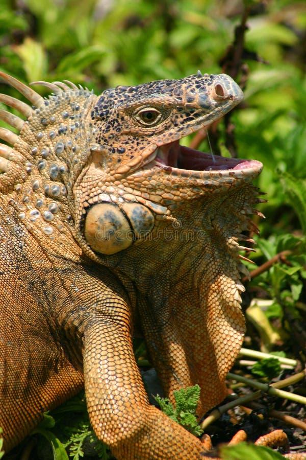 Iguana hambrienta fotos de archivo