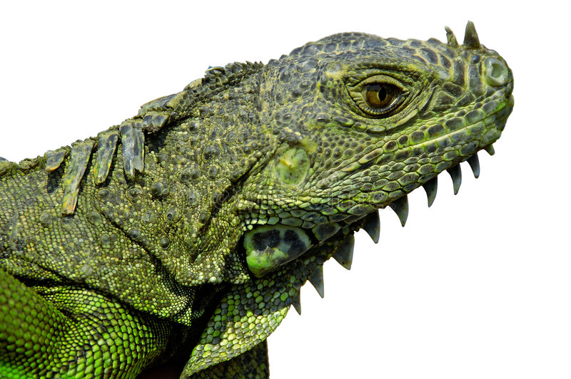 Download Iguana Head w/Paths stock image. Image of reptile, path - 117367