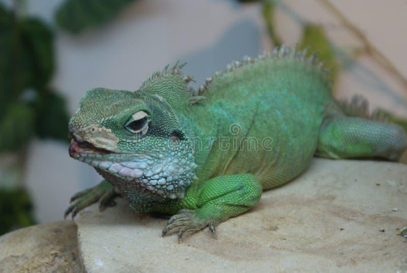 Iguana hermosa en el objeto expuesto del reptil imagen de archivo