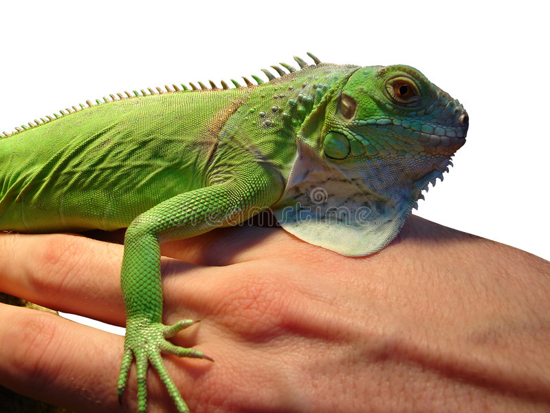 Iguana hugs man's arm. Isolated on white background royalty free stock photos