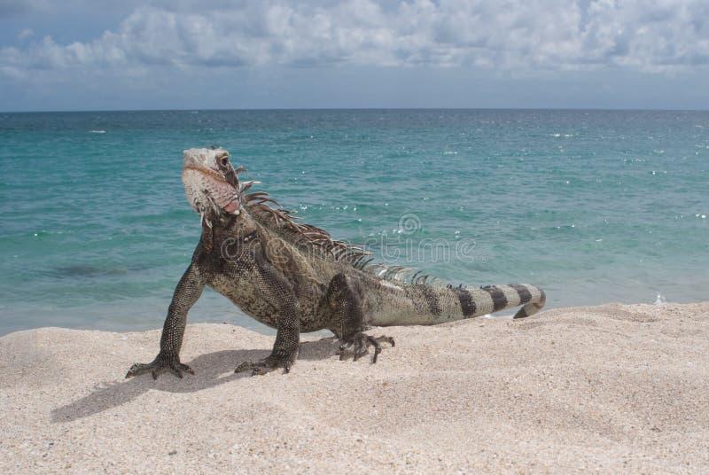 Download Iguana (Iguana Iguana) Stock Photo - Image: 11194480