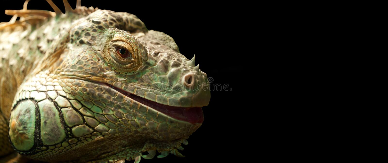 Iguana. Isolated on black background stock images