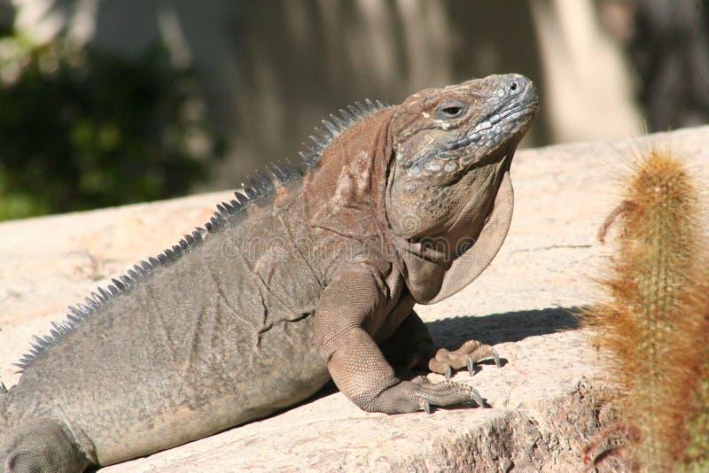 Iguana jamaicana (collei de Cyclura) imagens de stock