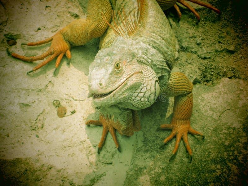 Iguana Royalty Free Stock Photo