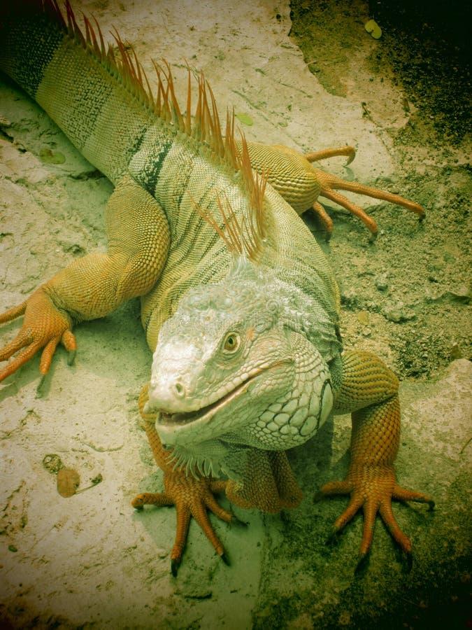 Download Iguana stock image. Image of iguana, jungle, reptile - 36672311