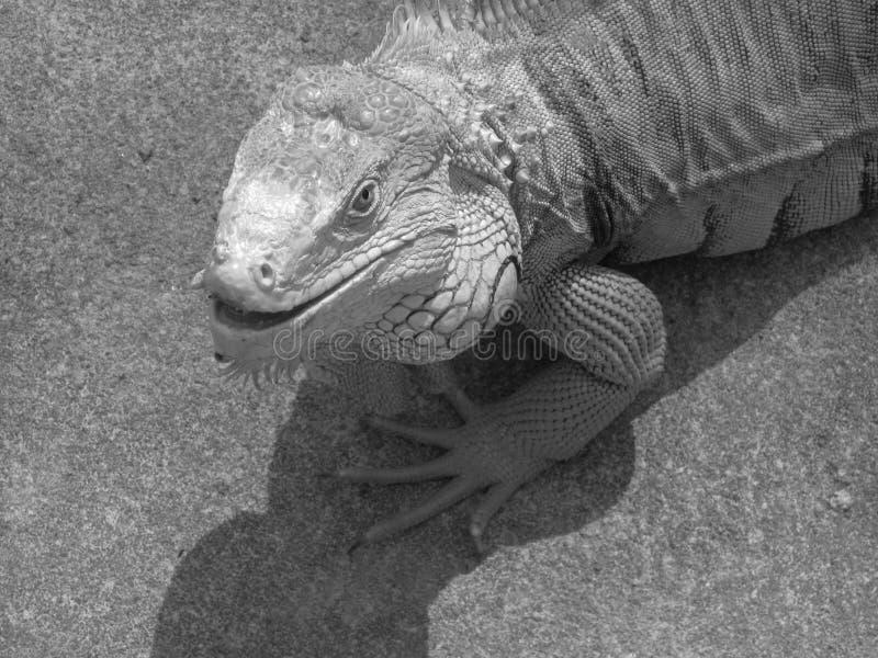 Download Iguana stock photo. Image of reptile, rare, jungle, tropics - 36672384