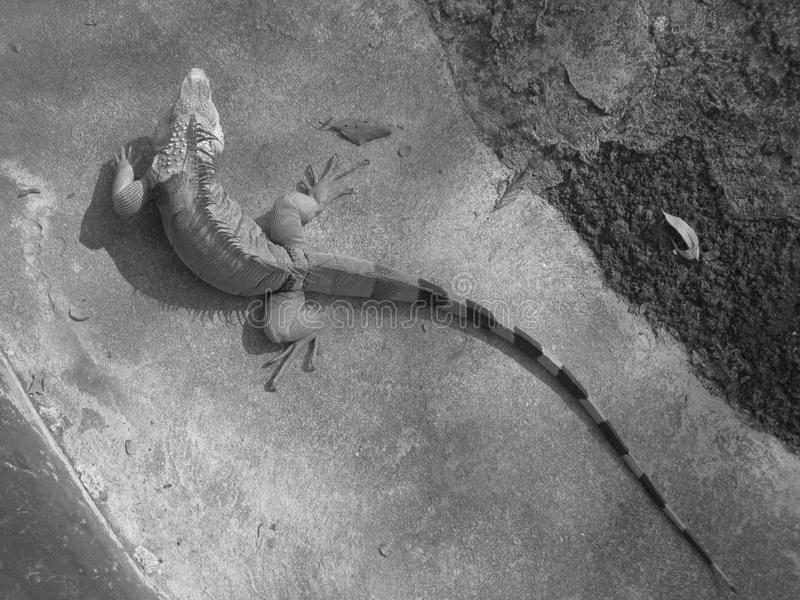 Download Iguana stock photo. Image of lizard, spine, carapace - 36672388