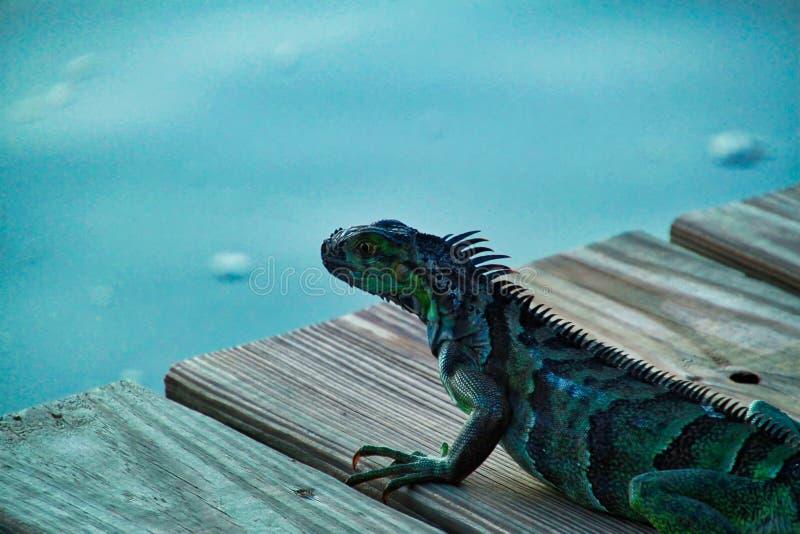 A iguana listrada verde rasteja ao longo do cais de madeira em chaves de Florida imagens de stock royalty free