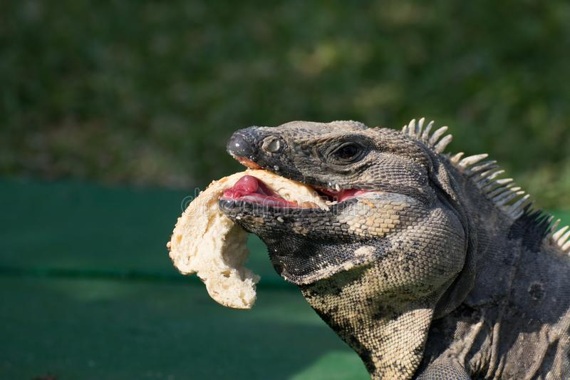Iguana living in the wild in Mexico stock photography