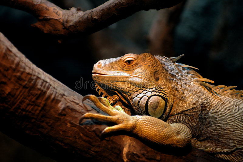 Iguana lizard. Green iguanas have a row of spines along their backs and along their tails which help protect them from predators royalty free stock images