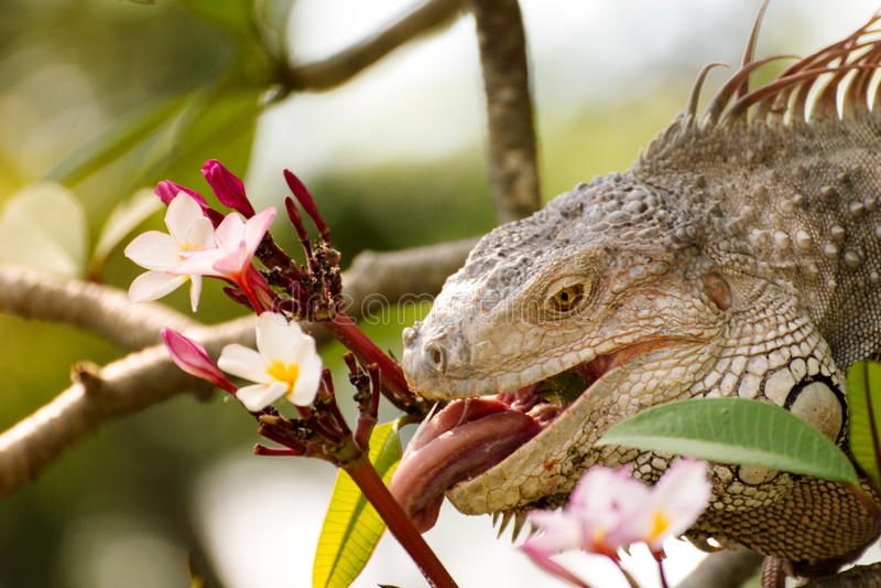 Iguana lizard eating flower of Plumaria tree in the wild. Iguana (/ɪˈɡwɑːnə/,[1][2] Spanish: [iˈɣwana]) is a genus of herbivorous royalty free stock photos