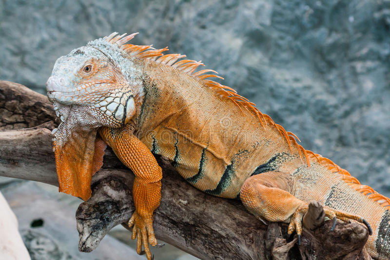 Iguana lizard sits on a branch stock photography