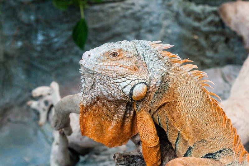 Iguana lizard sits on a branch. Close-up stock photos