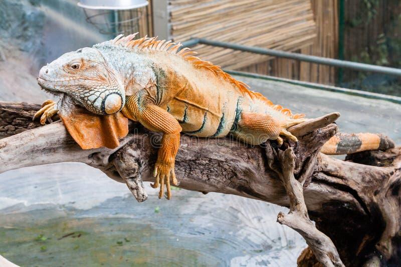 Iguana lizard sits on a branch. Close-up royalty free stock photo