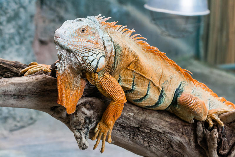 Iguana lizard sits on a branch stock images