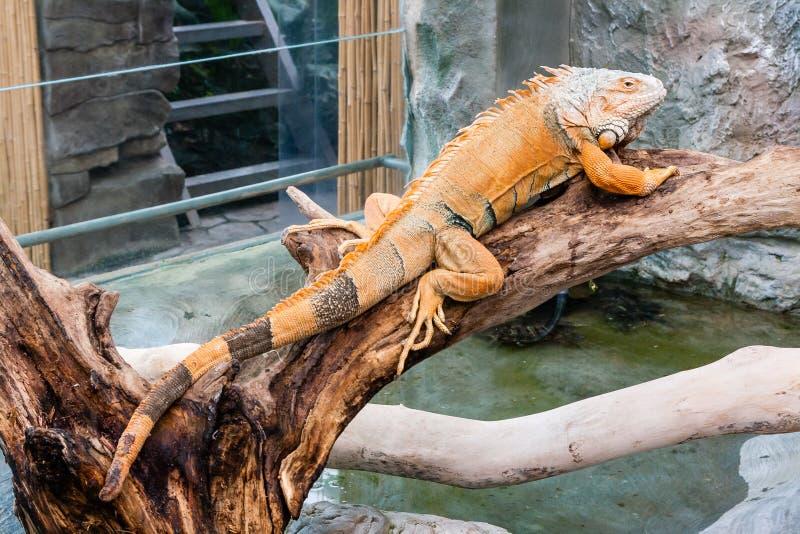 Iguana lizard sits on a branch. Close-up stock photo
