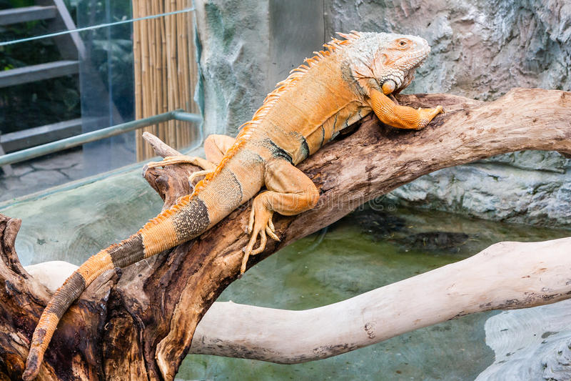 Iguana lizard sits on a branch stock image