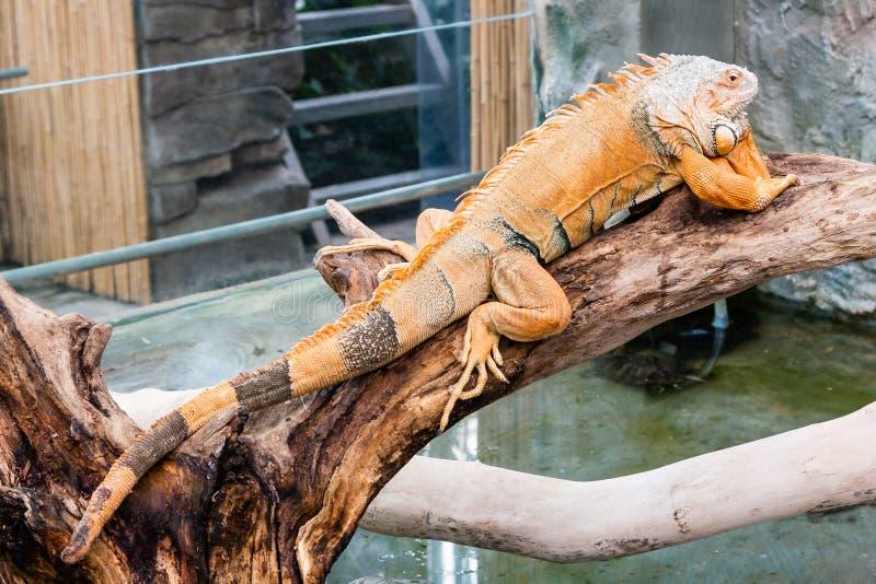 Iguana lizard sits on a branch. Close-up royalty free stock image