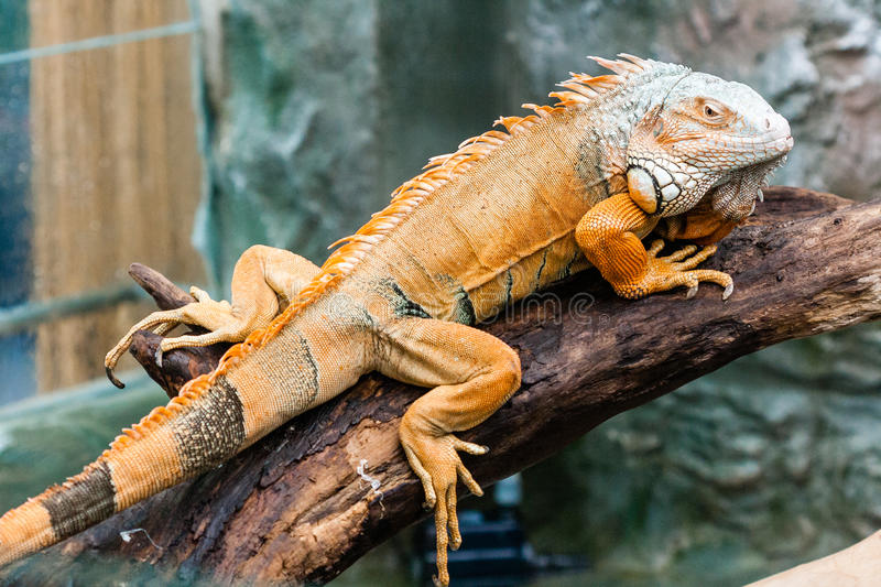 Iguana lizard sits on a branch. Close-up royalty free stock photography