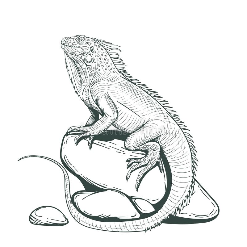 Iguana lizard on a stone adult coloring page royalty free stock images