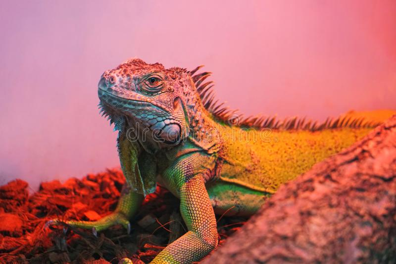 Iguana is looking very gorgeous and serious. royalty free stock photos