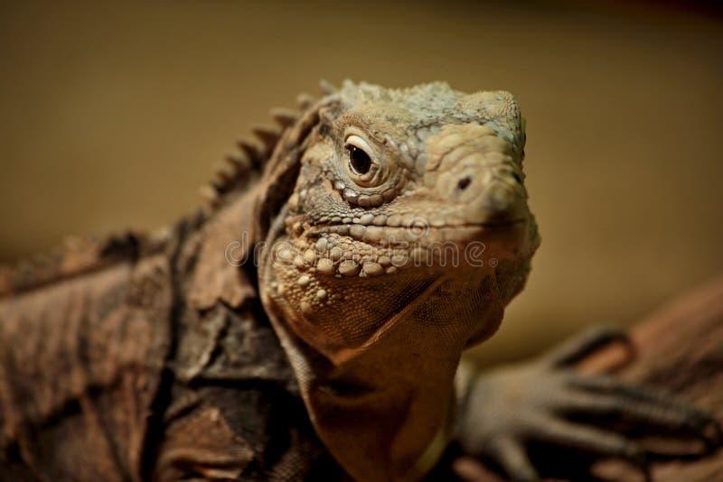 Iguana makro- szczegół zdjęcia stock