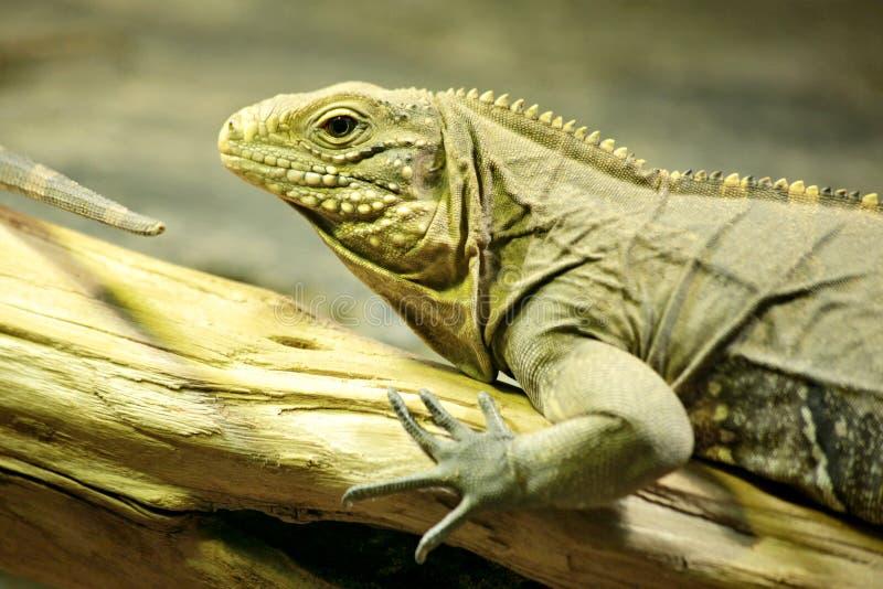 Iguana makro- szczegół obrazy royalty free