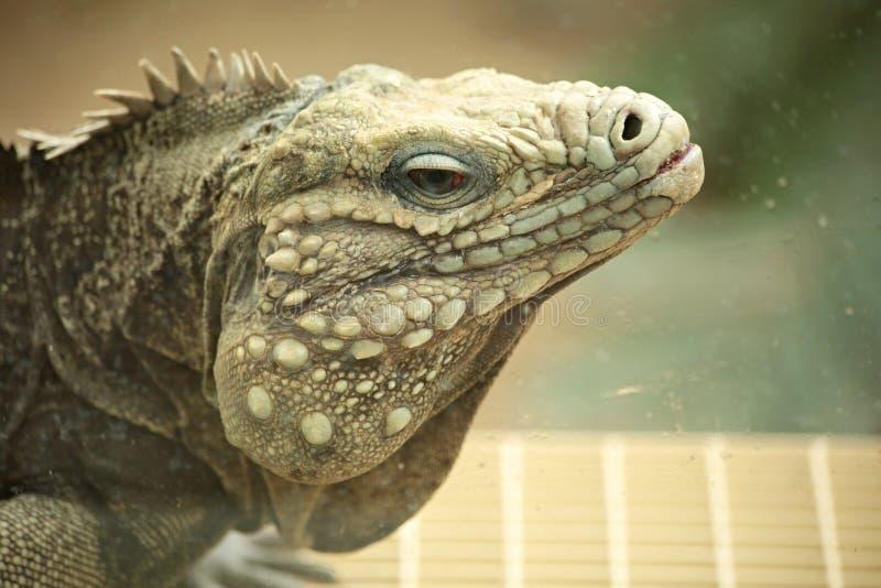 Iguana makro- szczegół zdjęcia royalty free