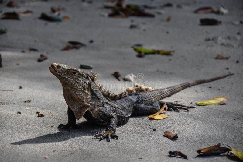 Iguana in Manuel Antonio National Park, Costa Rica fotografia stock libera da diritti