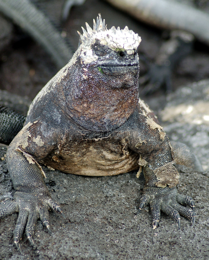 Iguana marina immagini stock libere da diritti