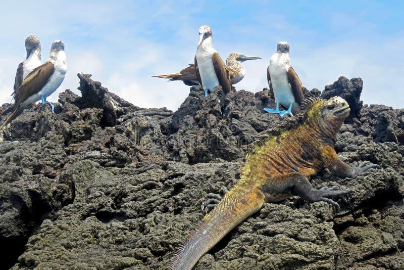 Iguana marina con los bobos con base azules, bobo, nebouxii del Sula y cristatus del Amblyrhynchus, en Isabela Island, las Islas  foto de archivo libre de regalías