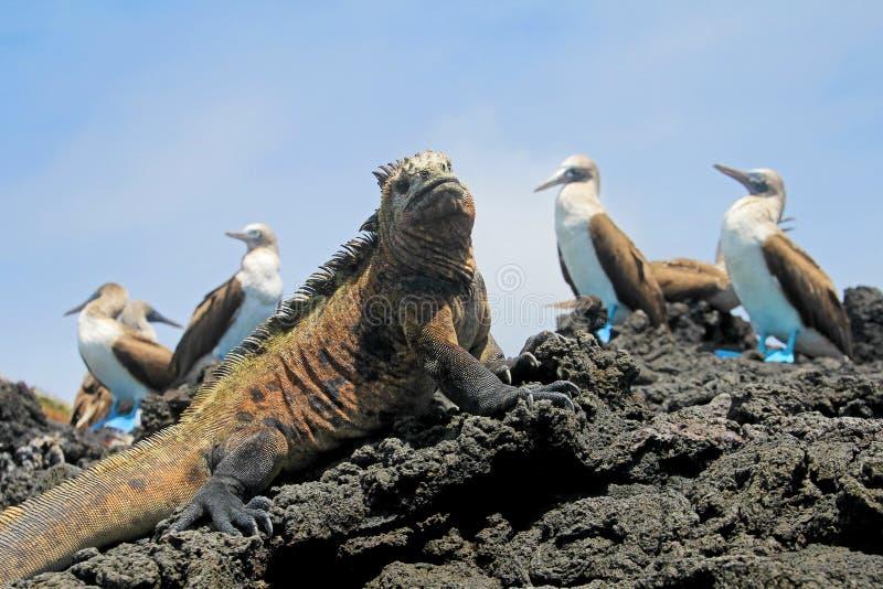 Iguana marina con los bobos con base azules, bobo, nebouxii del Sula y cristatus del Amblyrhynchus, en Isabela Island, las Islas  fotografía de archivo