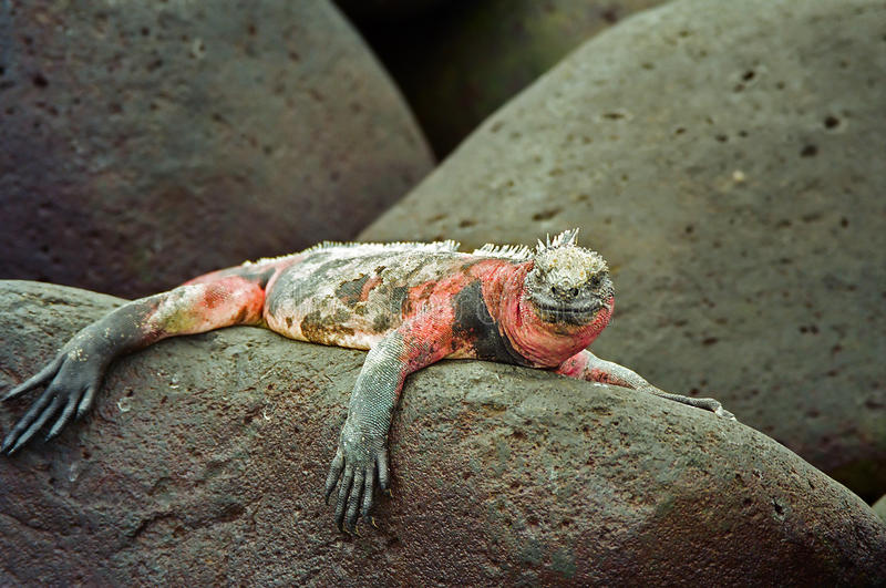 Iguana marina del Galapagos fotografie stock