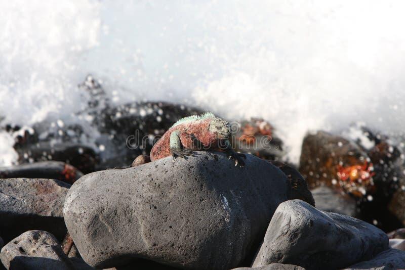 Iguana marina del Galapagos e mari agitati fotografie stock libere da diritti