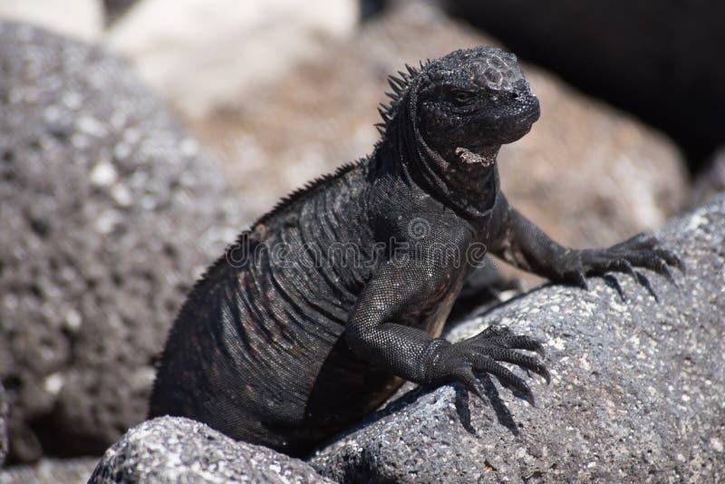 Iguana marina di pagos del ¡ di Galà fotografia stock libera da diritti