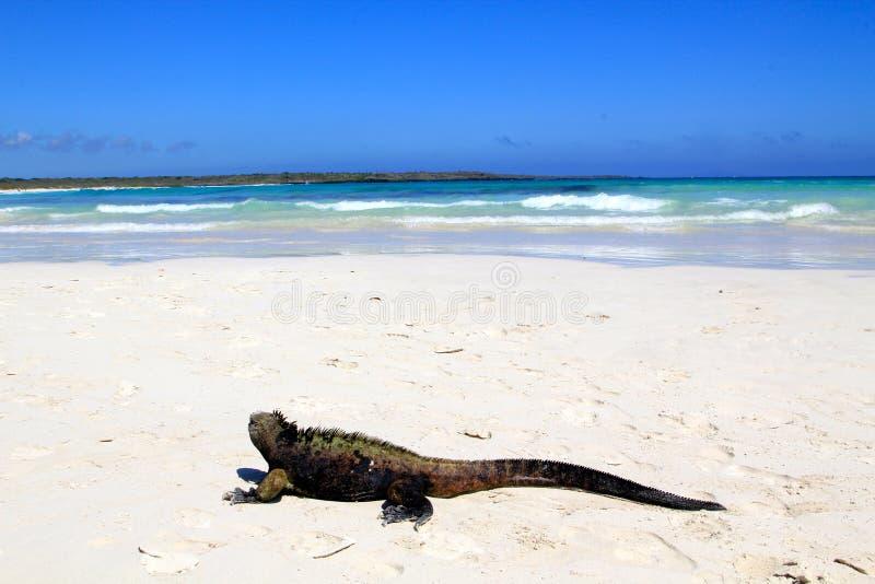 Iguana marina en las Islas Galápagos fotografía de archivo