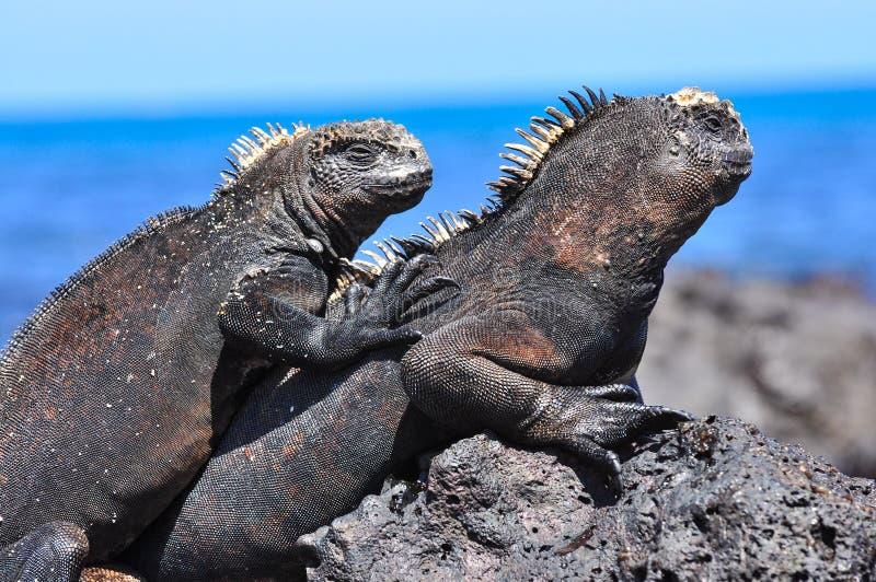 Iguana marina en una roca fotografía de archivo libre de regalías
