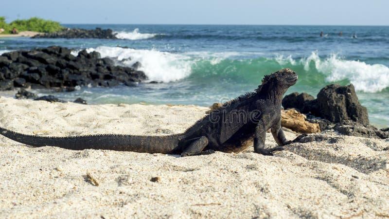 Iguana Marina stock photo