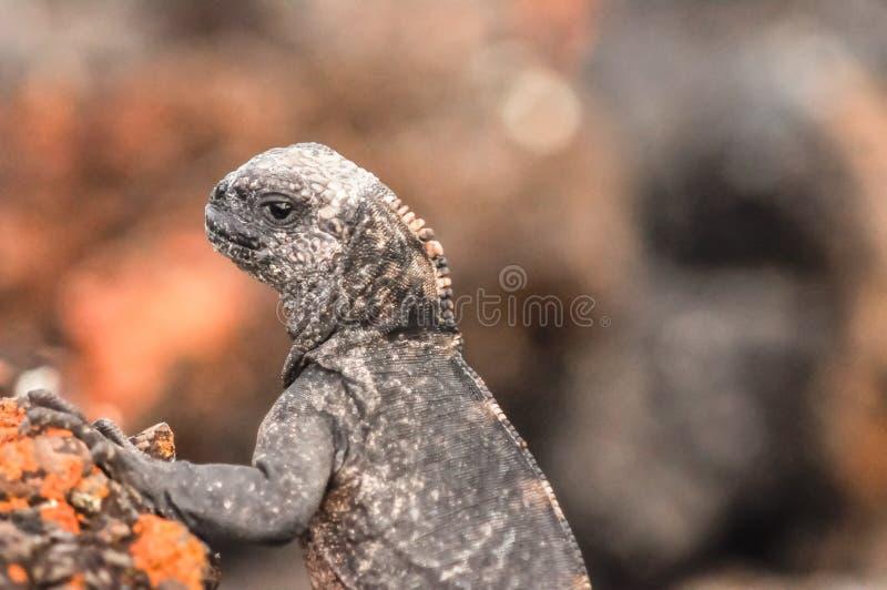 Iguana marina, isole di Galapagos, Ecuador immagini stock
