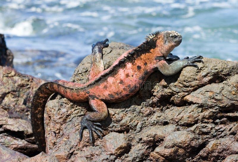 Iguana marinha imagem de stock royalty free