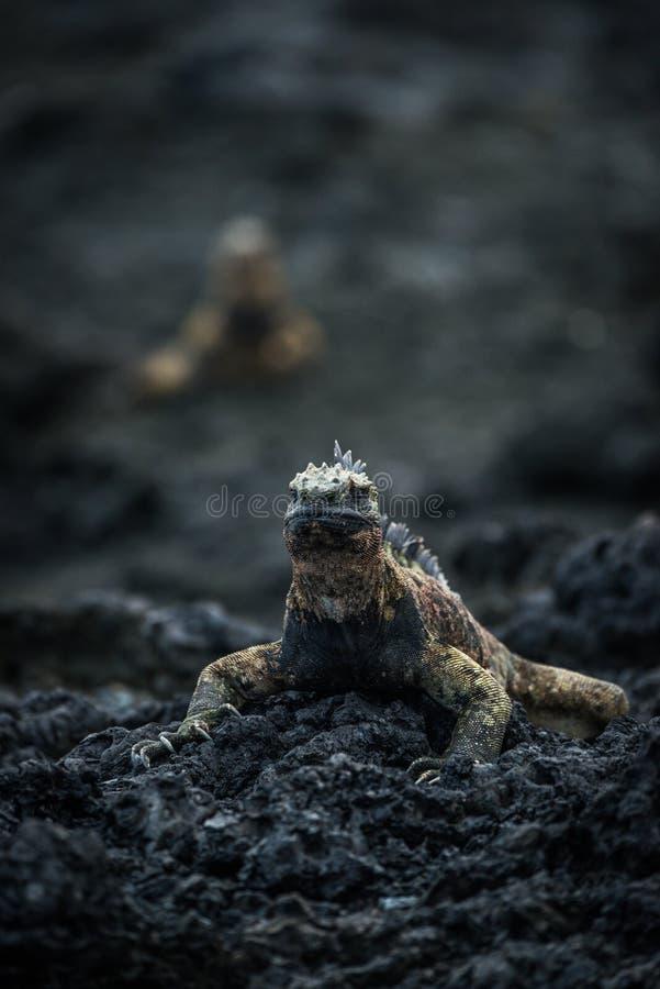 Iguana marinha em rochas com outras atrás imagem de stock royalty free